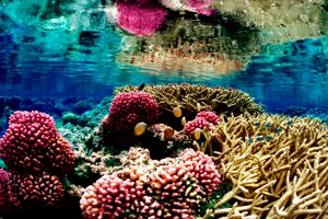 Palmyra coral