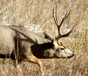 Elk and Mule Deer