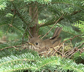 Bicknell's Thrush (Catharus bicknelli) distribution and population estimates on breeding and wintering areas
