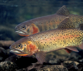 Native Fishes